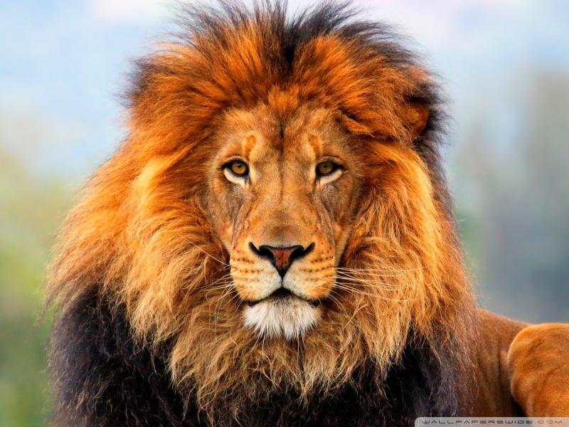 lion_5-wallpaper-800x600